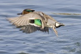 Male Green-Winged Teal Duck Takes Off Reproduction photographique par Hal Beral