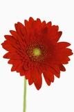 Chrysantheme (Großformat) Fotografie-Druck von Frank Krahmer