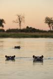 Hippopotamus, Botswana Reproduction photographique par Michele Westmorland