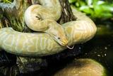 Burmese Python (Albino) Fotografie-Druck von Gary Carter
