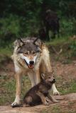 Grey Wolf with Pup Impressão fotográfica por W. Perry Conway