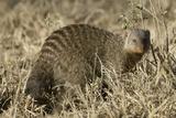Banded Mongoose Lámina fotográfica por Hal Beral