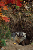 Badger Looking out from Den Photographic Print by W. Perry Conway
