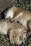 Sleeping Prairie Dog Pups Lámina fotográfica por W. Perry Conway