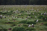 Laysan Albatross Nesting Grounds Reproduction photographique par W. Perry Conway
