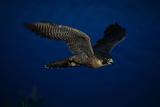 Peregrine Falcon Flying over a Lake Impressão fotográfica por W. Perry Conway