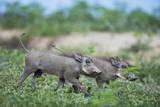 Warthog Piglets, Botswana Lámina fotográfica por Richard Du Toit