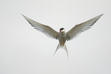 Arctic Tern Hovering in Flight Photographic Print by Arthur Morris