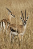 Thomson's Gazelle Reproduction photographique par Hal Beral