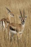 Thomson's Gazelle Fotografisk tryk af Hal Beral