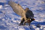 Goshawk Catching Prey Stampa fotografica di W. Perry Conway