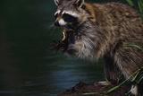 Raccoon Eating a Leopard Frog Lámina fotográfica por W. Perry Conway