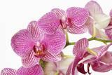 Moth Orchid Fotografie-Druck von Frank Krahmer