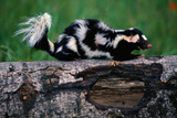 Eastern Spotted Skunk Lámina fotográfica por W. Perry Conway