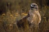 Ferruginous Hawk in Prairie Grass Stampa fotografica di W. Perry Conway