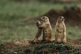 Black-Tailed Prairie Dog Family Fotografisk tryk af W. Perry Conway
