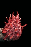 Spondylus Princeps Lámina fotográfica por Paul Starosta