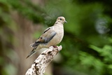 Mourning Dove Photographic Print by Gary Carter