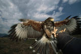 Harris' Hawk Lands on Falconer's Glove Reproduction photographique par W. Perry Conway