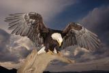 Bald Eagle Landing on Snag Impressão fotográfica por W. Perry Conway