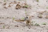 Slender Mongoose, Savuti Marsh Lámina fotográfica por Sergio Pitamitz