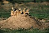 Prairie Dogs at their Burrow Lámina fotográfica por W. Perry Conway