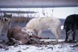 Wolf Pack Eating Deer Carcass Impressão fotográfica por W. Perry Conway