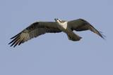 Osprey in Flight Reproduction photographique par Hal Beral
