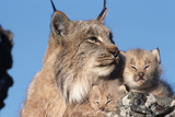 Canadian Lynx with Young Lámina fotográfica por W. Perry Conway