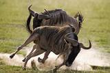 Blue Wildebeests Fighting Photographic Print by Martin Harvey