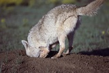 Coyote Digging in Prairie Dog Hole Fotografisk tryk af W. Perry Conway