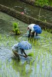 People Harvesting in the UNESCO World Heritage Site of Banaue, Northern Luzon, Philippines Fotografisk trykk av Michael Runkel