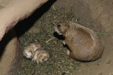 Female Prairie Dog with Pups Fotografisk tryk af W. Perry Conway