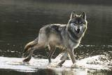 Grey Wolf Walking along the Kettle River Fotografie-Druck von W. Perry Conway