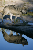 Grey Wolf and Reflection in Water Fotografisk tryk af W. Perry Conway