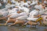 White Pelicans in Fishing Formation Photographic Print by Martin Harvey