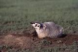 Badger Digging in Prairie Dog Hole Photographic Print by W. Perry Conway