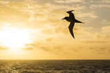 Adult Light-Mantled Sooty Albatross (Phoebetria Palpebrata) in Flight in the Drake Passage Fotografisk tryk af Michael Nolan