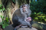 Crab-Eating Macaque (Macaca Fascicularis) Mother with Baby, Monkey Forest, Ubud, Bali, Indonesia Photographic Print by Michael Runkel