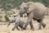 African Elephant (Loxodonta Africana) and Calf, Running to Water, Addo Elephant National Park Lámina fotográfica por Ann and Steve Toon
