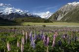 Lupins and Mount Cook, Mount Cook Village, Mount Cook National Park Reproduction photographique par Stuart Black