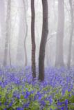 Bluebell Wood in Morning Mist, Lower Oddington, Cotswolds, Gloucestershire, United Kingdom, Europe Reproduction photographique par Stuart Black