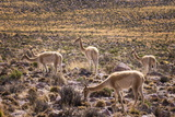 Vicuna (Vicugna Vicugna) Camelids Grazing on Desert Vegetation, Atamaca Desert, Chile Reproduction photographique par Kimberly Walker