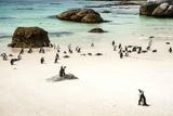 African Penguins at Foxy Beach, Boulders Beach National Park, Simonstown, South Africa, Africa Reproduction photographique par Kimberly Walker