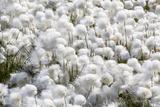 Arctic Cotton Grass (Eriophorum Scheuchzeri) Flowering in Sisimiut, Greenland, Polar Regions Photographic Print by Michael Nolan