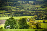 Lamb in Spring, Winchcombe, the Cotswolds, Gloucestershire, England, United Kingdom, Europe Fotografisk trykk av Matthew Williams-Ellis