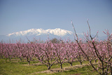Fruit Blossom, Mount Canigou, Pyrenees Oriental, Languedoc-Roussillon, France, Europe Photographic Print by Mark Mawson