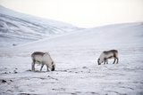 Svalbard Reindeer (Rangifer Taradus Spp. Platyrhynchus) Grazing in Winter Photographic Print by Louise Murray