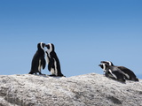 African Penguins (Jackass Penguins) Touching Beaks as If Embracing Reproduction photographique par Kimberly Walker