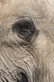 African Elephant Eye (Loxodonta Africana), Addo Elephant National Park, South Africa, Africa Fotografisk tryk af Ann and Steve Toon